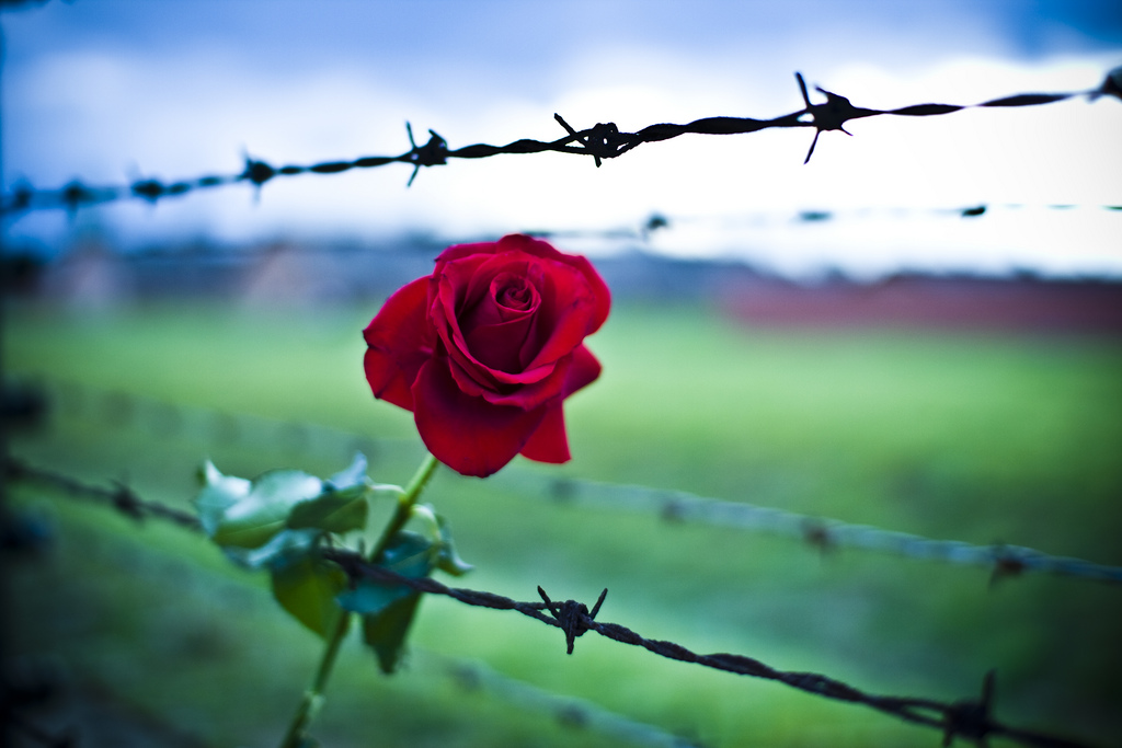 Auschwitz rose