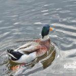 duck in the lake of park Rila