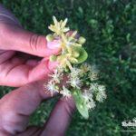Fake versus real linden blossom