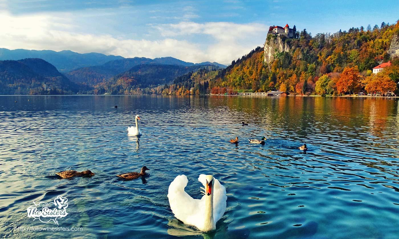 Lake Bled Swans