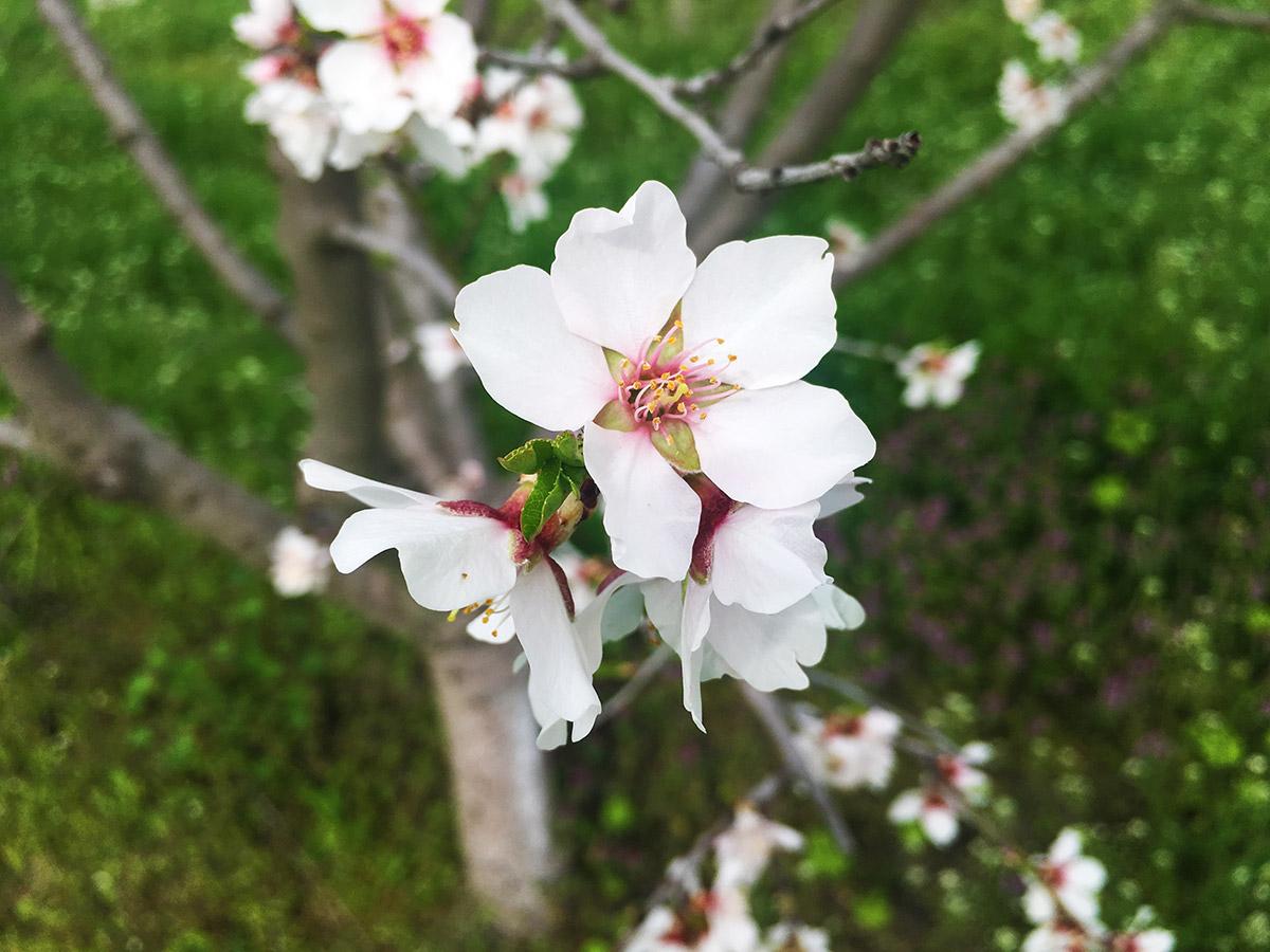 Blooming cherries Zhitnitsa